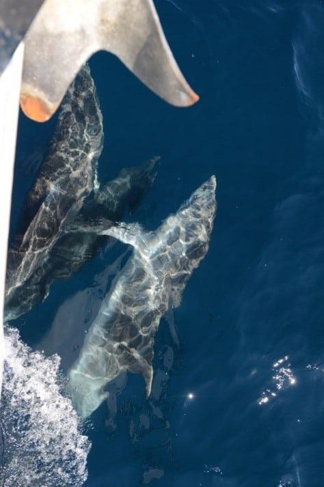Delfine vor Yacht